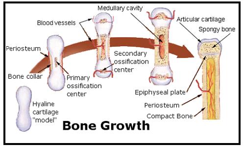 bonegrowth