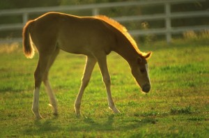 Young Foal in Pasture