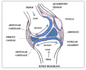 kneediagram